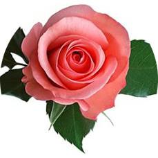 Роза из фоамирана: 3 мастер-класса, 3 красивых розы (фото)