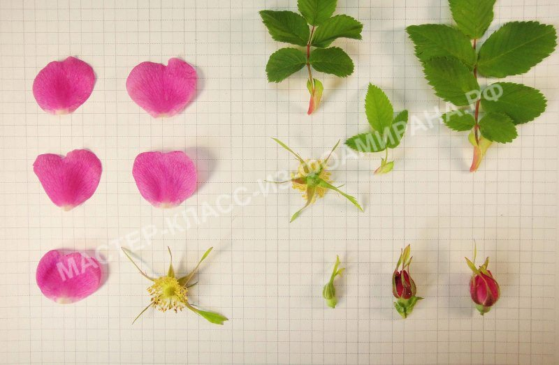Выкройка шиповника из фоамирана (шаблоны цветов и листьев)