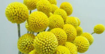 Мастер-класс по фоамирану: цветок Краспедия, фото