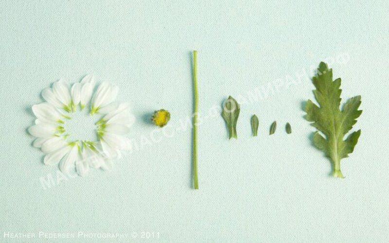 выкройка ромашки на основе живого цветка